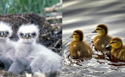 Adler oder Ente
