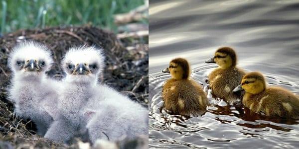 Als Adler geboren, aber als Ente am Entensee aufgewachsen
